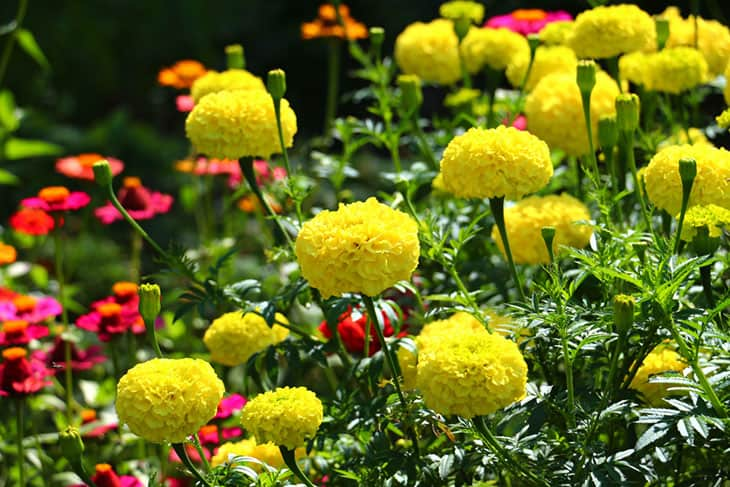 scent of marigold can negate bee attacks